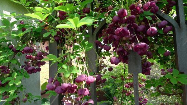 Растения для живой изгороди быстрорастущие фото