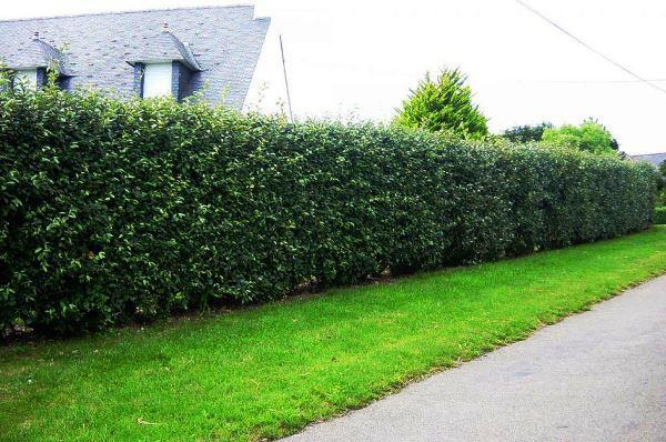 Живая изгородь быстрорастущая многолетняя вечнозеленая фото названия