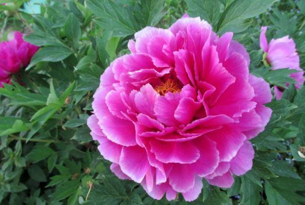 садовые цветы фото 15