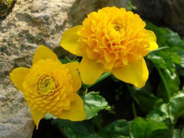 садовые цветы фото 20