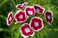 садовые цветы фото и названия