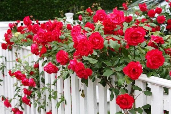 вьющиеся растения для сада фото 4