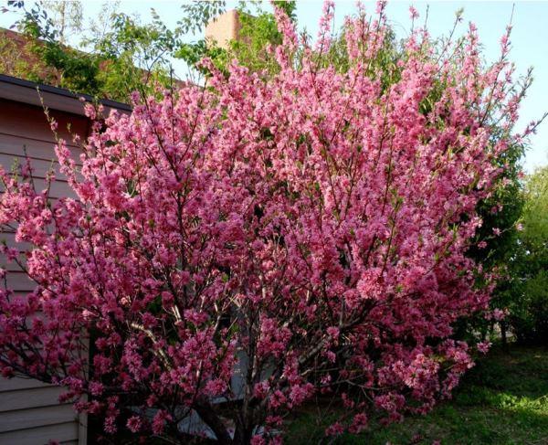 Миндальное дерево декоративное фото 11
