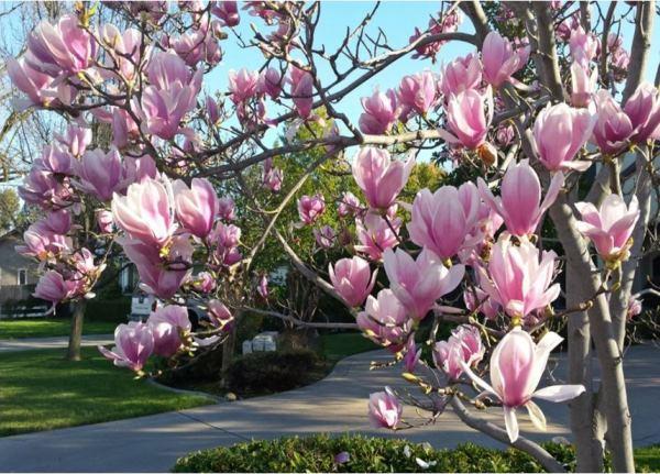 Декоративные цветущие деревья фото и названия