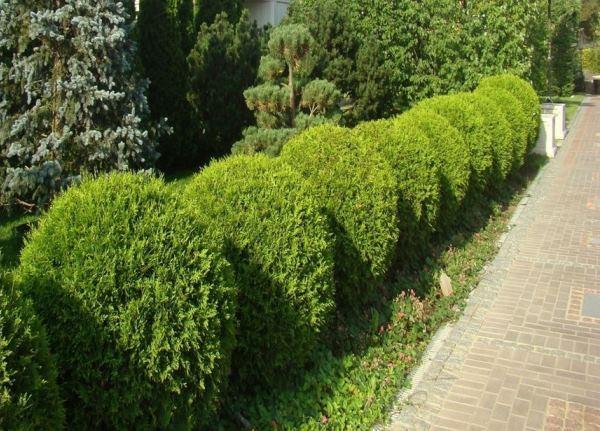 декоративные деревья фото 2