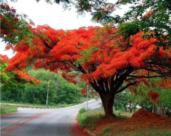 декоративные деревья фото