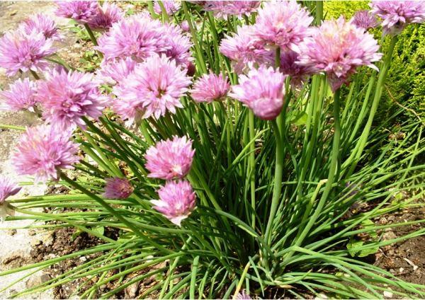 бордюрные цветы фото 3