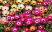 многолетние цветы для сибири цветущие все лето фото и названия