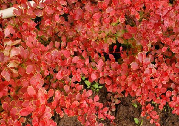 кустарники цветущие все лето фото 10
