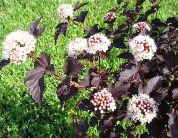 кустарники цветущие все лето фото 11