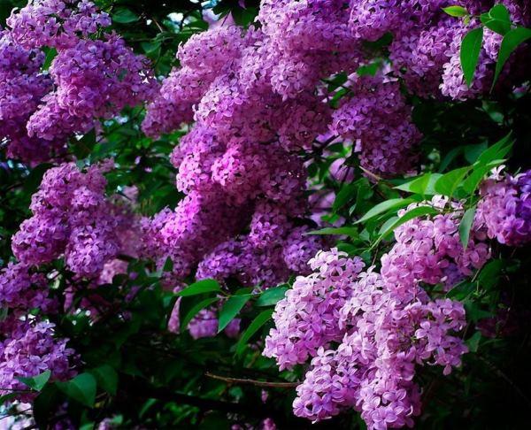 кустарники цветущие все лето фото 13