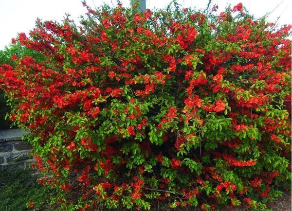 кустарники цветущие все лето фото 14
