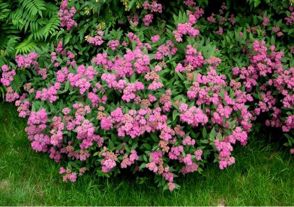 кустарники цветущие все лето фото 17