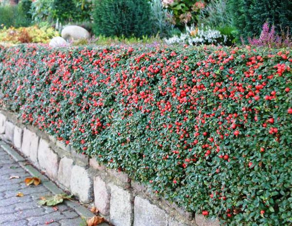 кустарники цветущие все лето фото 6