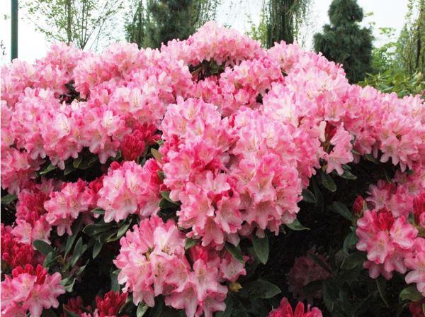 Кустарники цветущие все лето: фото и названия