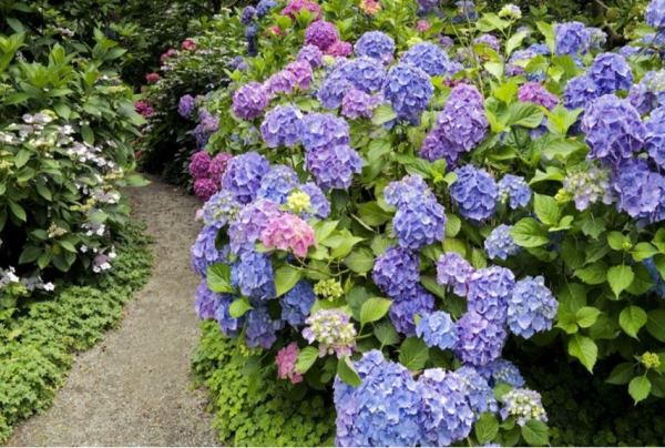 кустарники цветущие все лето фото