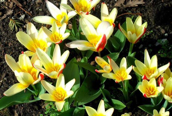 Растения для альпинария фото и названия