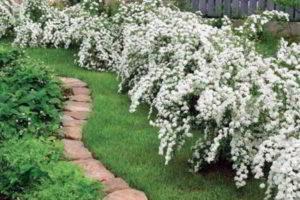 цветущие кустарники для сада фото и названия