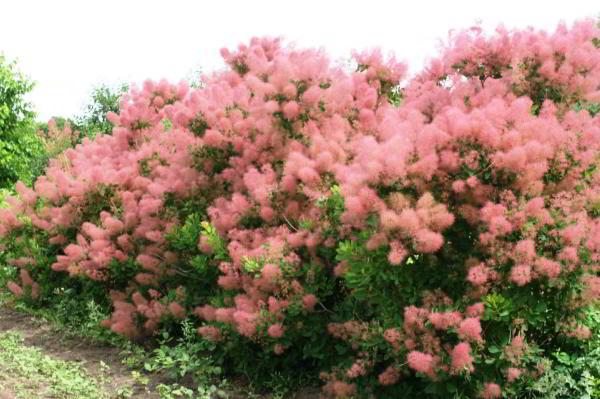 цветущие кустарники для сада фото 12