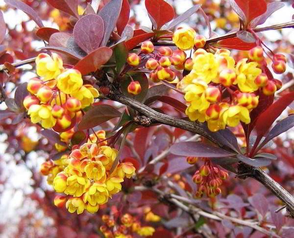 цветущие кустарники для сада фото 13