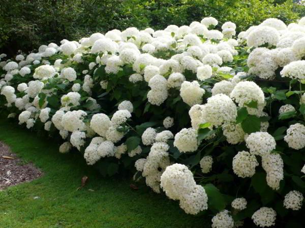 цветущие кустарники для сада фото 16