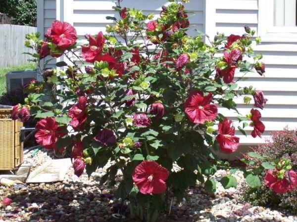 цветущие кустарники для сада фото 25