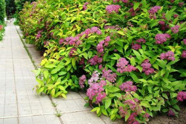цветущие кустарники для сада фото 8