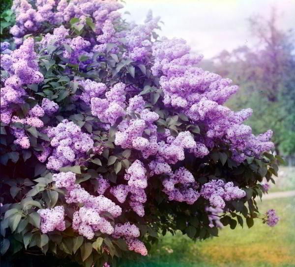 цветущие кустарники для сада фото 9