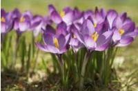 луковичные цветы фото и названия садовые
