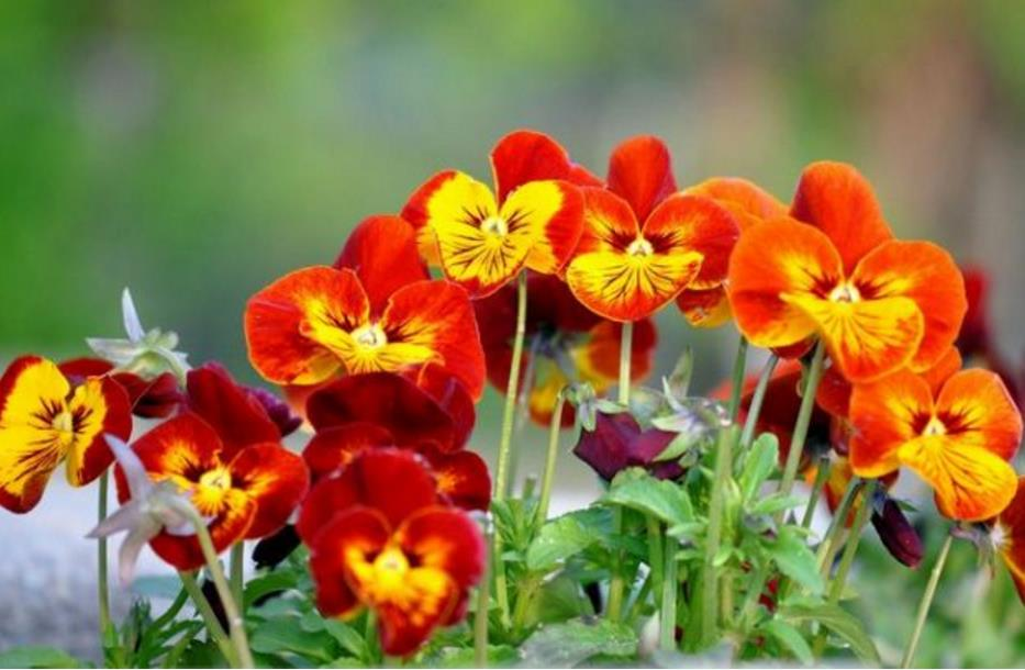 низкорослые цветы для клумбы фото 12