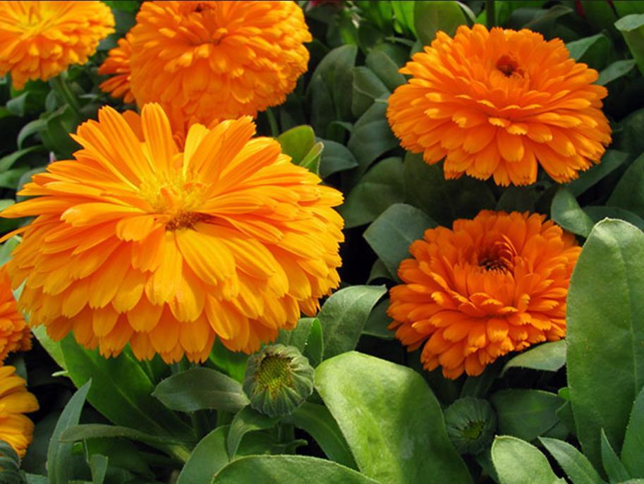 низкорослые цветы для клумбы фото 13