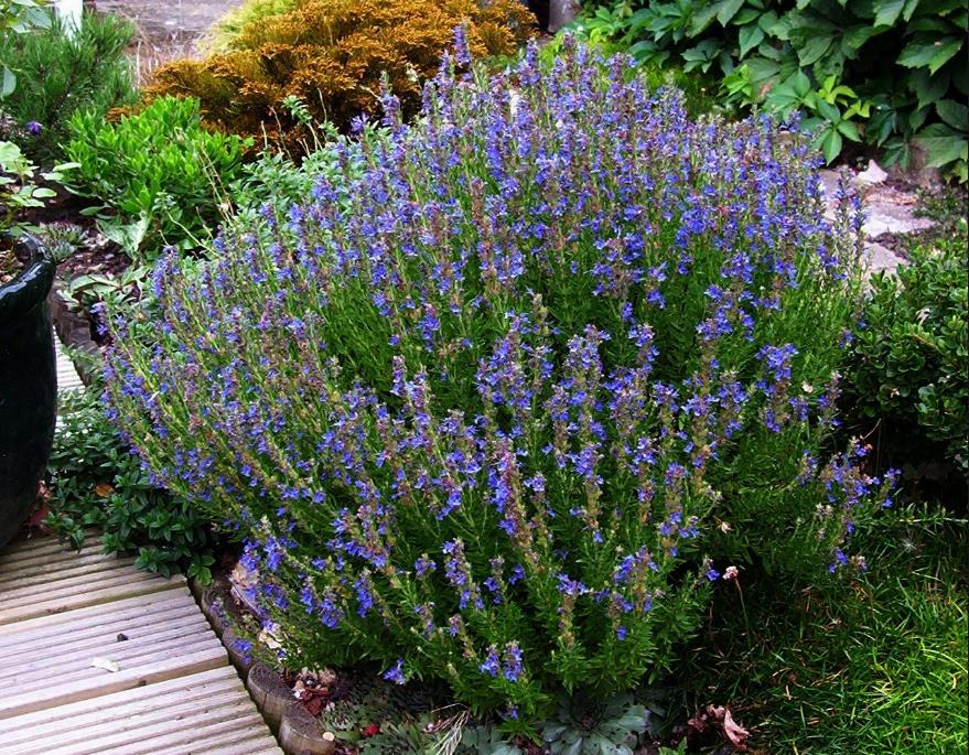 низкорослые цветы для клумбы фото 16