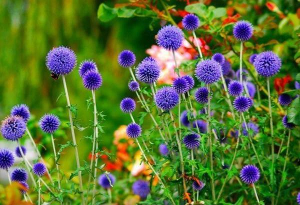 низкорослые цветы для клумбы фото 21
