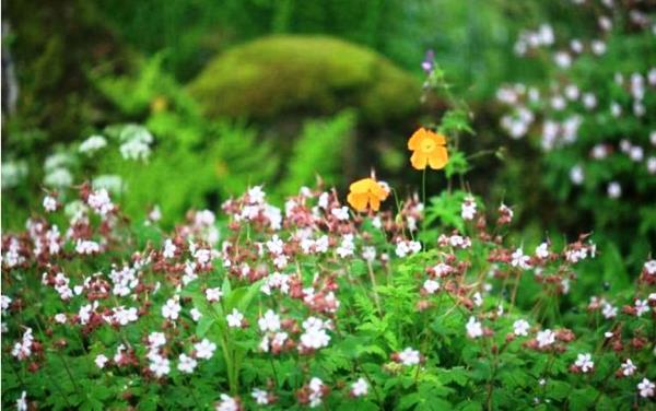 низкорослые цветы для клумбы фото 3