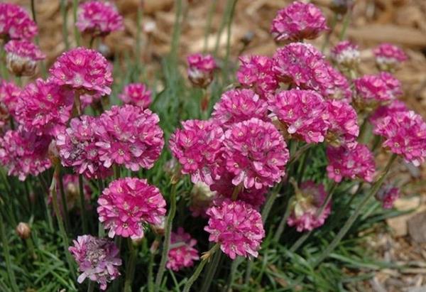 низкорослые цветы для клумбы фото 6