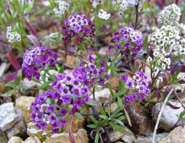 низкорослые цветы для клумбы фото 7