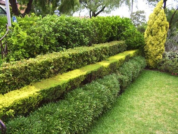 живая изгородь быстрорастущая многолетняя фото 11