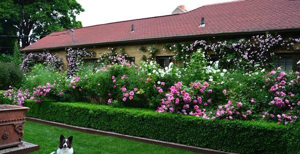 Кусты для живой изгороди быстрорастущие фото