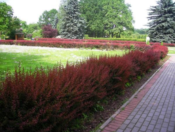 Кустарники для живой изгороди быстрорастущие фото