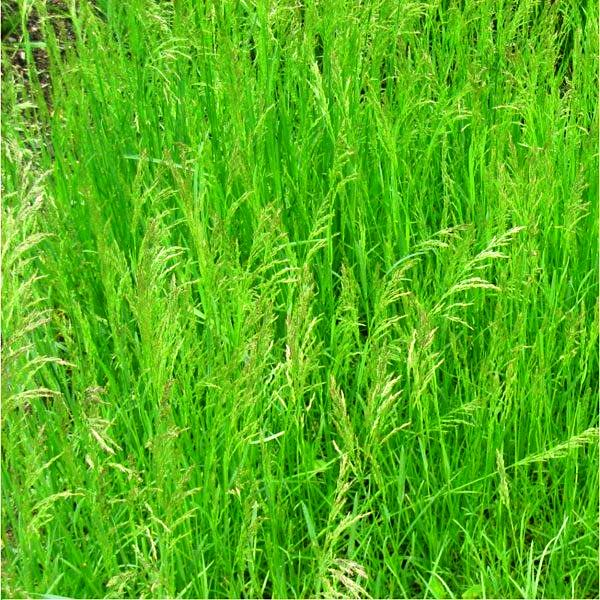 мавританский газон фото 9