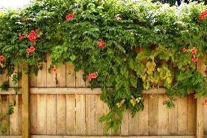 многолетние вьющиеся растения для сада фото и названия