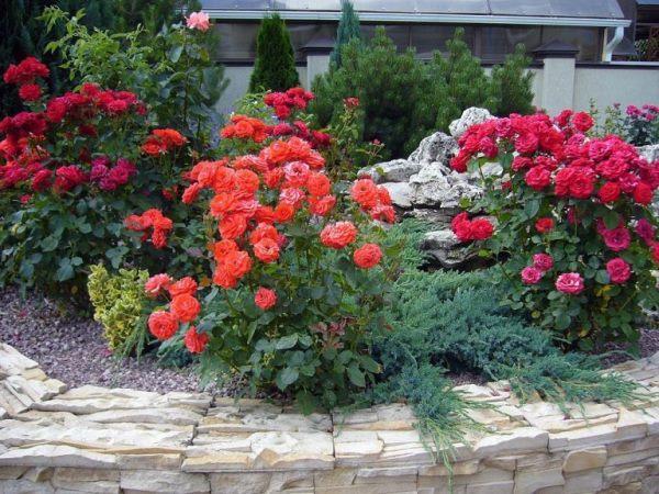 клумбы с розами и хвойниками фото