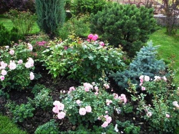 клумбы с розами и хвойниками фото 19