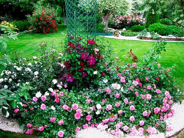 клумбы с розами фото 20