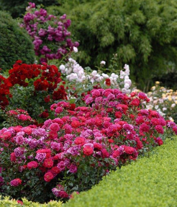 клумбы из роз на даче фото