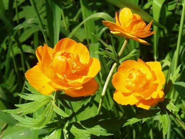 садовые цветы фото 13
