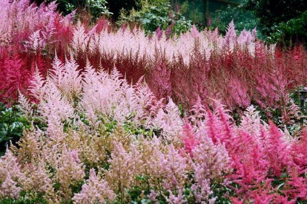 садовые цветы фото 14