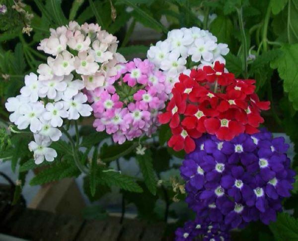 садовые цветы фото 5