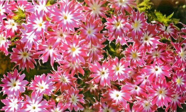 садовые цветы фото 6