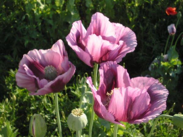 садовые цветы фото 8
